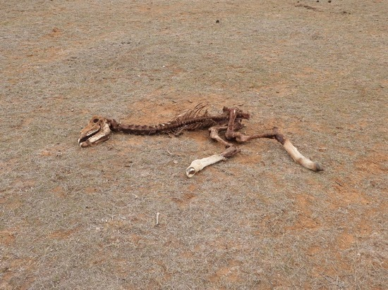 В Калмыкии найден скелет древнего динозавра