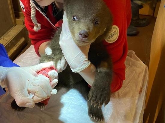 В Твери умер один из спасённых в Карелии медвежат