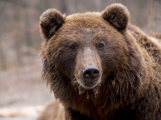 На Смоленщине проснулись медведи