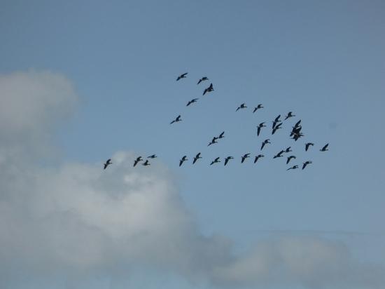 Через Калужскую область полетели гусиные стаи