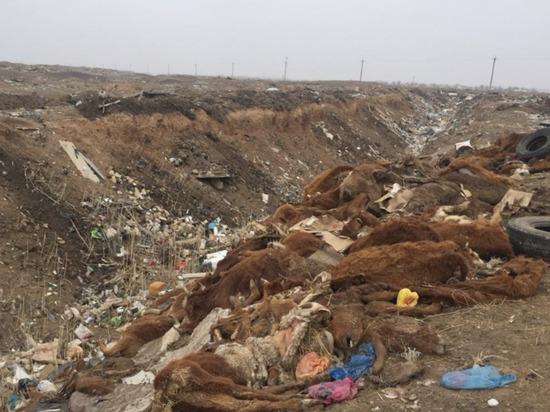 В Калмыкии останки 78 коров сбросили в яму