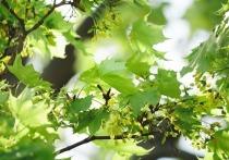 Более 7 миллионов деревьев будут посажены в Кузбассе за 2021 год