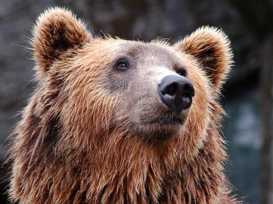 В Бежаницком районе проснулись медведи