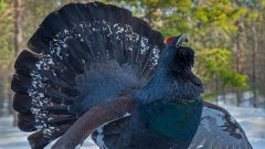 В природном парке Ергаки на снегоходчиков напал глухарь