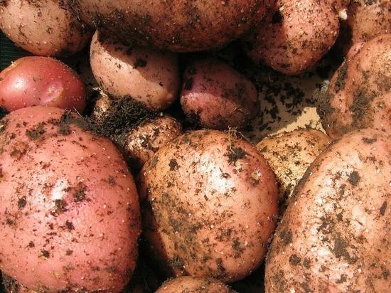 22 тонны белорусского картофеля не пропустили через границу в Псковской области