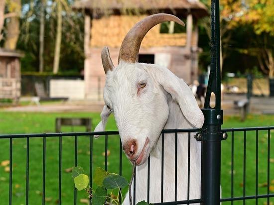 В Новомосковске жителям запретят пасти коз в сквере 60-летия СССР