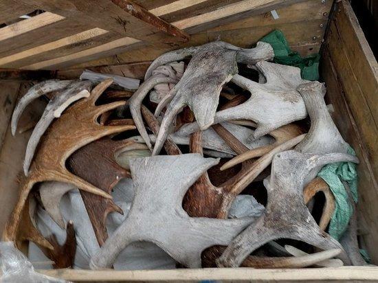 У водителя с Урала в Слюдянке изъяли полтонны рогов лося и благородного оленя