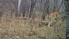 «Вот этот мурлыкнул»: любовная перекличка тигров в Приморье попала на видео