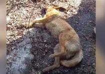 На набережной Саратова умирают собаки