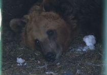 Первый медведь пробудился от зимней спячки в нацпарке «Башкирия»