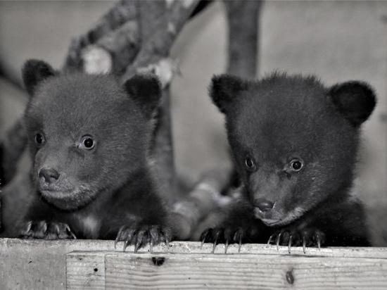 Двое выживших медвежат-сирот из Карелии идут на поправку