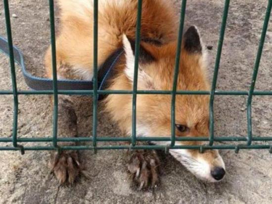 Сбитый на трассе под Чеховом лис Элвин, которого опекают и лечат местные жители, на днях доказал справедливость народной мудрости о волках и лесе