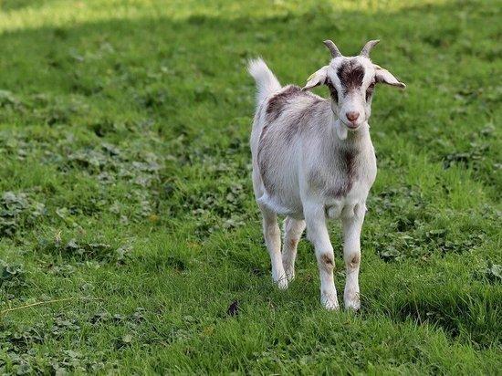 Под Акбулаком пресечен незаконный вывоз коз за границу
