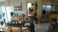 Побег медведя от маленьких терьеров в США сняли на видео