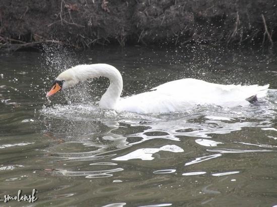 В Смоленске в Лопатинском саду снова плавают лебеди