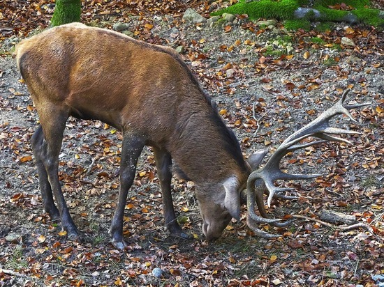Забайкальца осудили за добычу благородного оленя