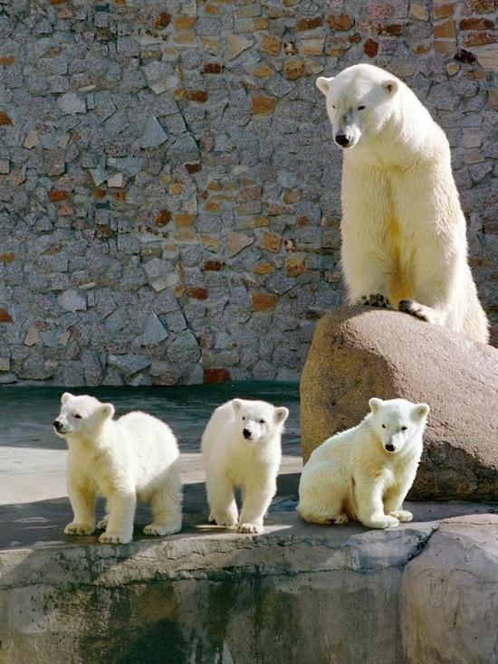 В Ленинградском зоопарке умерла белая медведица Услада