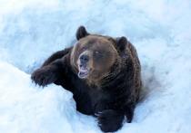 В Чурапчинском районе Якутии медведь-шатун задрал кобылу