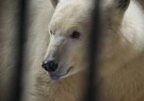 Снежинке нужен муж: ленинградский зоопарк ждет молодого белого медведя