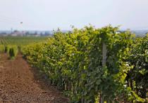Площадь виноградопригодных земель на Кубани увеличилась до 50 тысяч гектаров