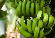 На днях растениеводы из Южной Америки распространили тревожное сообщение: самый распространенный, промышленный сорт бананов - Cavendish – тот самый большой, «мясистый», как мы любим, находится под угрозой уничтожения
