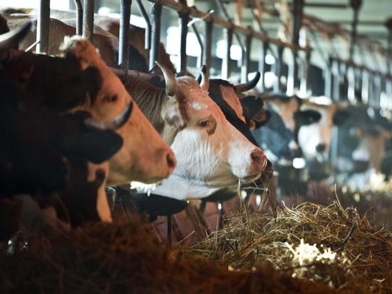 Ветеринарная служба Югры обследует крупный рогатый скот