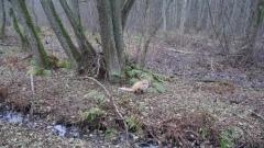 Бобры и лоси: дикие животные выходят на вологодские дороги