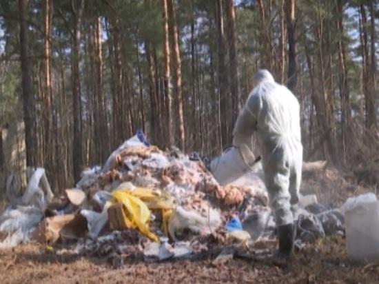 В пригороде Ярославля обнаружена свалка свиных туш