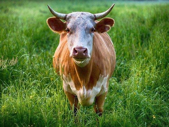 Бык убил двух россиян на ферме