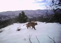 Мэр Геленджика «поймал» на фотоловушку диких котов, оленей и енотов