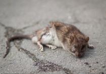 В Петрозаводске на этой неделе начнут травить крыс