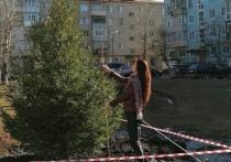 Крупномерные ели высадили на 12 площадках в разных районах Вологды
