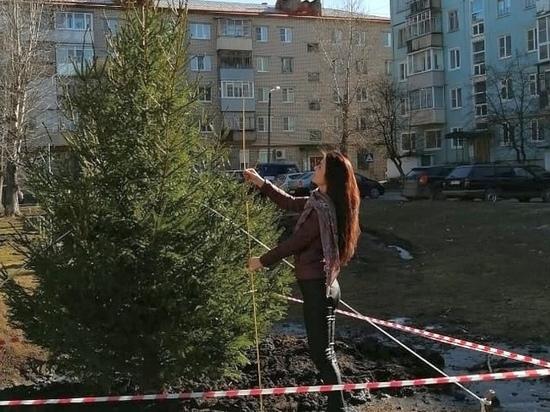 Посадка живых елей обошлась бюджету города в 600 тысяч рублей, и радовать жителей они будут много лет