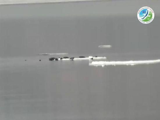 30 нерп уплыло в Ангару на дрейфующей льдине с Байкала