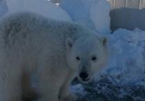 В Красноярском крае от голодной смерти спасли белого медвежонка