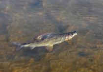 Были ли цианиды в реках Хакасии: отчего погибла рыба в Белом Июсе