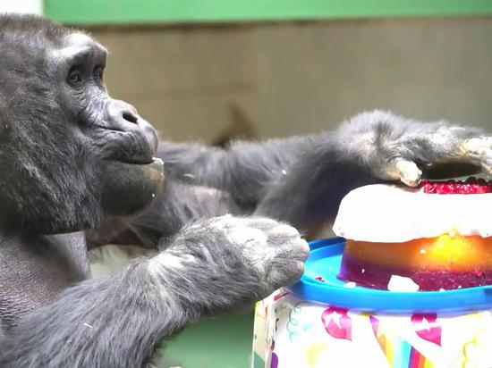 Выяснились подробности празднования юбилея старейшей гориллы: ела торт в одиночестве