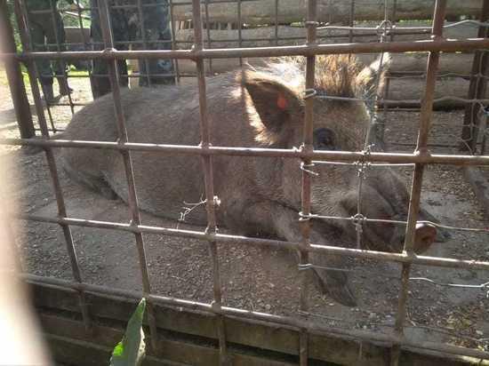 В Нижегородской области не зарегистрировано новых случаев африканской чумы свиней