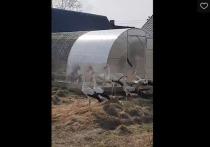 12 аистов выпустили на свободу в Гдовском районе после реабилитации