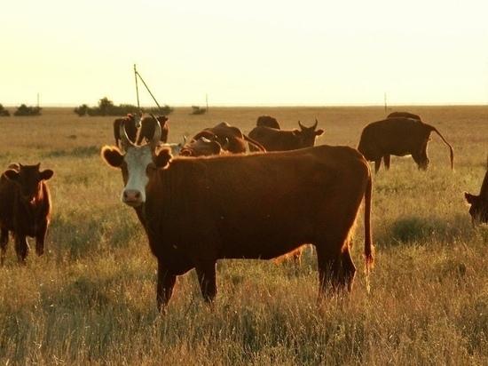 В Калмыкии уменьшилось поголовье скота