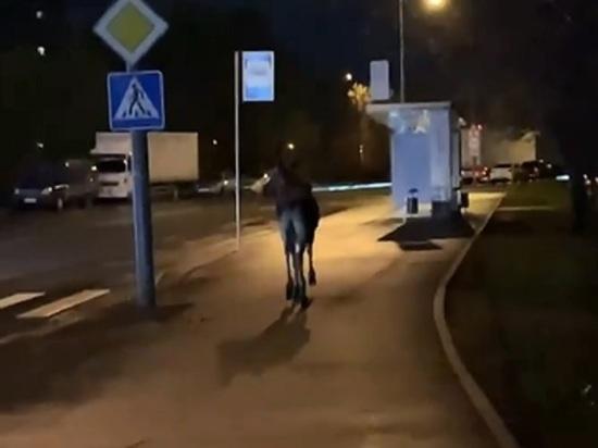Выяснились подробности спасения лося в Бирюлево: отгоняли сиренами