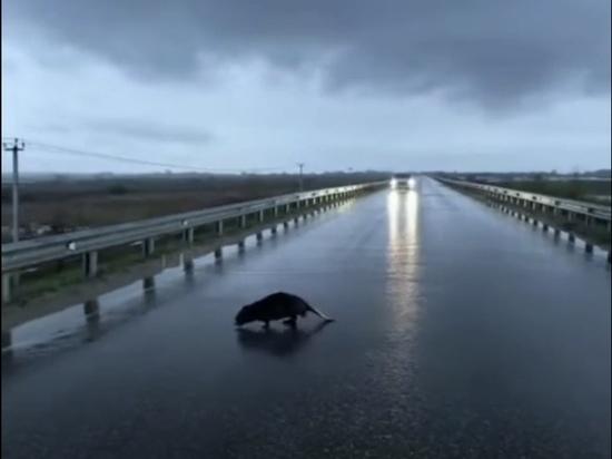 Рязанцы сняли на видео перебегающего дорогу бобра