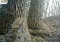 В Полистовском заповеднике запечатлели барсука, лису и рысь