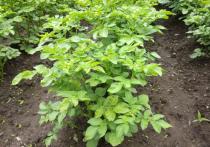 «МК в Хабаровске» рассказывает об азах и тонкостях выращивания картофеля с нуля