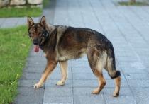 В Рубцовске бродячие псы снова напали на ребенка