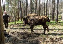 Зубров Приокско-Террасного заповедника отвезли в Калужскую область