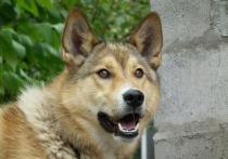 Следователи проверяют обстоятельства по факту нападения собак на жителей Рубцовска.