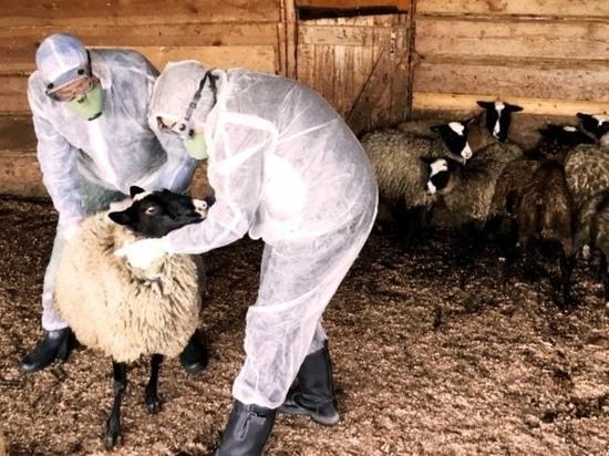 В Ивановской области обнаружен факт заболевания оспой среди овец
