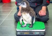 Родившийся в марте в красноярском парке флоры и фауны «Роев ручей» очковый пингвин получил имя Чупико