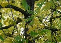 Любимое дерево жителей Академгородка оказалось в границах стройплощадки долгожданного детского сада - растение нужно снести